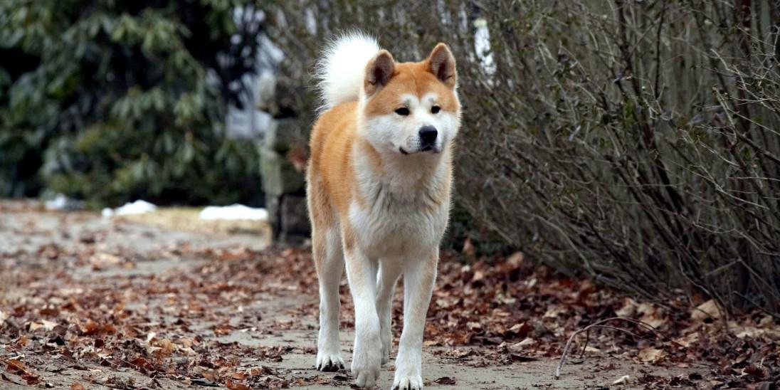 Hachi A Dog S Tale